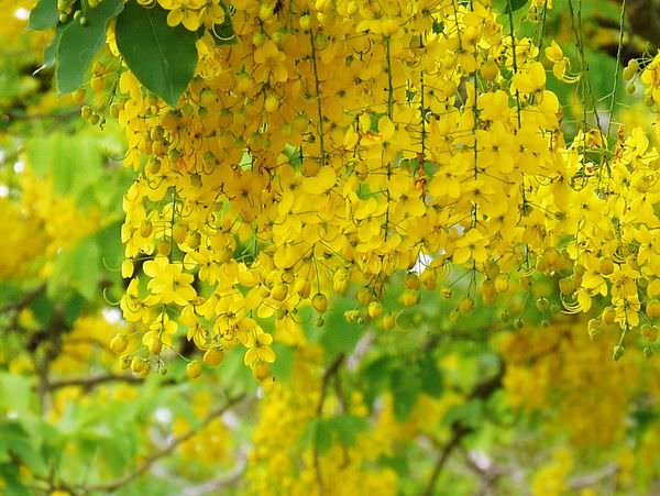 【台南百寶鄉 玉井】台84線阿勃勒│黃金雨美麗傳奇│雪花芒果
